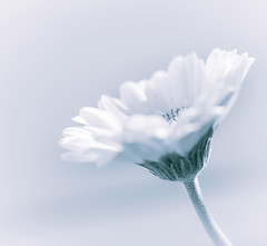 light as a breath (t1ggr) Tags: floral flower closeup macro pastel light softtones soft gerbera single simple simplicity monotone