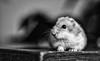 Talvikko (ari.ranki) Tags: hamster pet talvikko blackandwhite animal