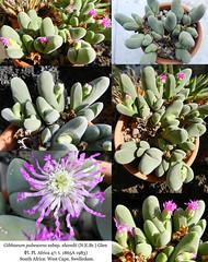 Gibbaeum pubescens subsp. shandii (collage)