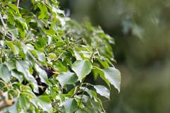 Où suis-je ? - Where am i ? (bboozoo) Tags: oiseau bird nature wildlife merle blackbird feuille leaf arbre tree caché hidden canon6d tamron150600