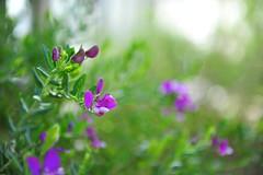 GrEEcE is... (sifis) Tags: greece sakalak nikon color nature flowers