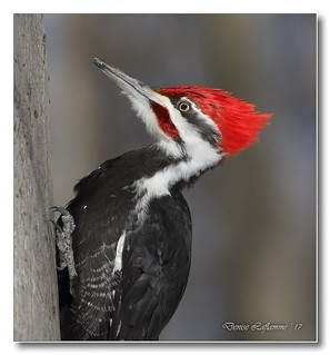 103A8319-DL   Grand pic (mâle) / Pileated Woodpecker (male).