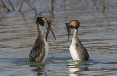 Great Crested Grebes (Ann and Chris) Tags: grebes courtship wildlife rutland weed water ducks feathers beaks wings birds avian birding birdwatching spring amazing