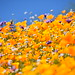 Desert Wildflower Super Bloom