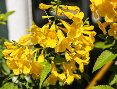 Yellow Jessamine (wyojones) Tags: texas caldwell gelsemiumsempervirens thomaskraitchar jrhouse yard flower vine woodyvine yellowjessamine carolinajasmine jessamine eveningtrumpetflower gelsemium yellow native wildflower