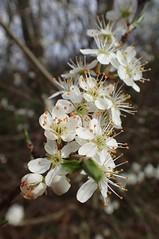 Prunus spinosa (Michiel Thomas) Tags: prunusspinosa prunus spinosa sloe sleedoorn