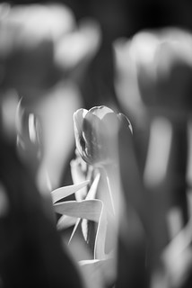 Tulips Abstract