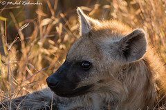 Spotted Hyena (Michel Rademaker) Tags: 2015 africa afrika knp kruger krugernationalpark safari southafrica zuidafrika hyena spotted canine predator scavenger sony a77ii tamron 150600mm