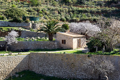 Almond blossoms (yshija) Tags: spanien balearischeinseln balearen mallorca 201702mallorca mandel blüte almond blossom sa trapa