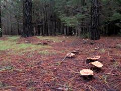 IMG_0287 (natalie.jing.ma) Tags: australia newsouthwales stateforest foraging mushroom lactariusdeliciosus pinemushroom saffronmilkcap