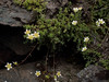 Saxifraga aspera (Rough Saxifrage) (Hugh Knott) Tags: flora zermatt switzerland valais saxifraga saxifrage saxifragaaspera roughsaxifrage helvetica