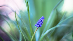 Grape Hyacinth (DC P) Tags: helios 402 85 mm f 15 lens bokeh spring nature manual ussr pov dof old adapter helios44 58 20 m39 m42 58mm leaf closeup close macro lights vintage autumn winter fantastic soft softfocus serene colors color colorful veins leafs large format vignette depth field czj carl zeiss biotar clone swirl swirly bej soe flower cccp soviet foucus plant outdoor tree glass 44 ngc sony a7rii 85mm flowers grass green purple angle grape hyacinth
