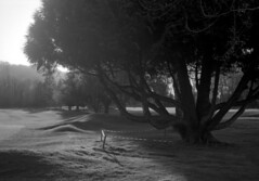 Lumière d'ouest (Franck Huet) Tags: arbre tree leica m3 ilford delta 100asa r09 rodinal summarit 150 14mm 50mm