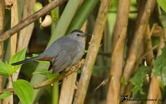 Gray Catbird (birdingexperience) Tags: birding birdingexperience belize nature natural naturephotography bird birdphotography centralamerica graycatbird dumetellacarolinensis