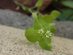 Chickweed (nofrills) Tags: plant plants flora floral flowers weed weeds spring roadside tokyo japan ハコベ chickweed commonchickweed white whiteflowers whiteflower macro