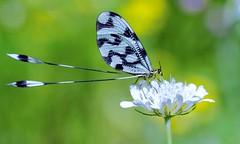 Fadenhafte - Nemoptera (sylviafurrer) Tags: macro netzflügler nemopterasinuata bulgaria nature insect