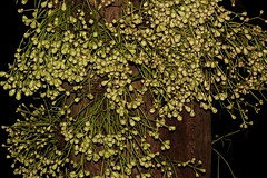 Syzygium cormiflorum (andreas lambrianides) Tags: syzygiumcormiflorum bumpysatinash myrtaceae wildflower rainforest arfp qrfp cyrfp tropicalarf lowlandarf uplandarf arfflowers whitearfflowers pinkarfflowers syzygium australianflora australiannativeplants australianrainforests australianrainforestplants rainforestflowers australianrainforestflowers