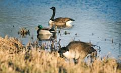 (4niki) Tags: 4niki patrik christian modée sony a7 soligor 250mm f45 spring pond goose hjulsta spånga stockholm vår damm gås duck anka
