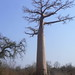 In the Shade of the Baobab
