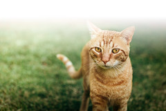 *** (Gabriela Tulian) Tags: portrait pet cat animal outside nature outdoor kitty fur kitten sweet feline frontview lookingatthecamera oneanimal facing domestic curiosity curious cute adorable friend