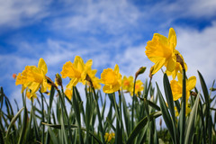 All in a line (Joe_R) Tags: columbia flower daffodil 6d canon sigma yellow blue sky clouds