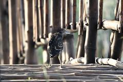 To Cross The Bridge Or Not .. _GD_GDJ_1497 (Gaurav Dinesh) Tags: nikon nikkor200500 nikond500 ybdp heron blackcrownednightheron juvenile handheld outdoors yamunabiodiversitypark