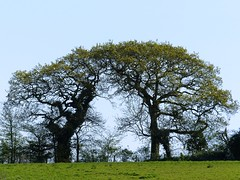 Triumphal oaks (Charos Pix) Tags: oaktrees cosmeston southwales countrypark glamorgan