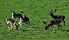 The Big Hurt (hope2029) Tags: stags sunshine antlers harewood leeds west yo