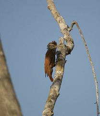 DSC_0044 (anamorales14) Tags: woodcreeper trepatroncos bird birding colombia baru pajaro ave cartagena
