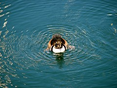 caught a crab! (Szymek S.) Tags: bird waterfowl duck merganser hoodedmerganser lophodytescucullatus crab shorecrab hemigrapsus predator prey predation port harbour coalharbour vancouver britishcolumbia canada