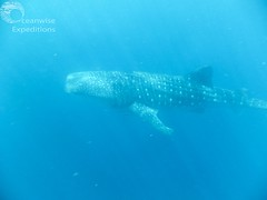Oceanwise Expeditions 24-05-2014 010.jpg (Oceanwise Expeditions) Tags: ecology australia science research whales whaleshark biology ningaloo westernaustralia exmouth mantarays caperangenationalpark ningalooreef ecotours oceanwiseexpeditions