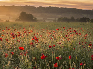 Poppies and Light