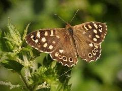 Speckled Wood Butterfly (davepickettphotographer) Tags: wood summer macro nature june closeup butterfly woods wildlife butterflies naturalhistory naturalworld speckled macrophotography em1 pararge aegeria buckden olympuscamera offorddarcy