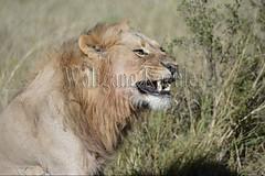 10072603 (wolfgangkaehler) Tags: africa portrait closeup cat african wildlife teeth bigcat botswana predator bigcats yawning bigfive predatory malelion lionpantheraleo maleanimal savuti linyanti linyantireserve savutichannel felidaefamily savutibotswana
