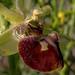 FLOR DE LA ARAÑA * Ophrys