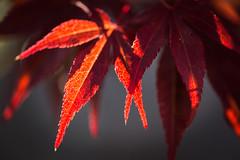 Leaf (hansekiki ) Tags: canon maple blatt bltter ahorn makroplanart250 5dmarkiii makroplanar502ze zeissmakroplanart50mm