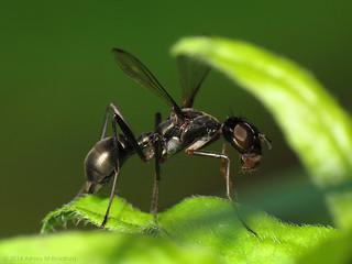 Ant Mimic Fly