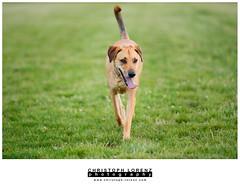 London (Christoph Lorenz Photography) Tags: dog brown playing london austria sterreich mix nikon labrador hund braun fullframe fx d800 nikkor70200f28vrii