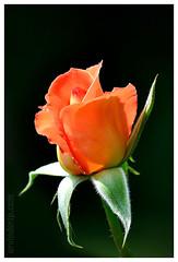 ROSE (ArvinderSP) Tags: india flower rose closeup photography nikon newdelhi 552 natureupclose arvindersingh arvindersp arvinderspcom