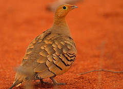 Chestnut-bellied Sandgrouse (Rainbirder) Tags: kenya tsavoeast pteroclesexustus chestnutbelliedsandgrouse rainbirder