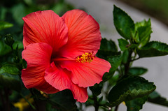 Red Hibiscus (geoff-pics) Tags: flowers red flower hibiscus