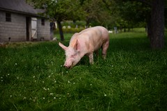 welcome in Normandy ! (pontfire) Tags: animal pig explorer explore pork normandie cochon ferme schwein 豚 normady