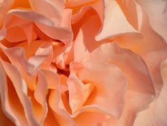 waves of a rose (Mimolalen) Tags: pink flowers roses flower color colour rose waves rosa blumen forms rosen blume farbe wellen seide formen curles seidig