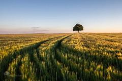 Tous les chemins mnent  ... (photosenvrac) Tags: lumire culture arbre beauce ble lucien marronnier avoine cereale thierryduchamp