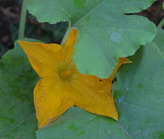 Wet Squash Blossom and Leaves (garlandcannon) Tags: vegetable delicious vegetableflower incollaborationwithmichaelcannon