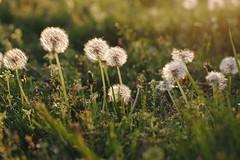 DSC_0810 (kellie_i) Tags: dandelion seeds wish goldenhour dandelions makeawish
