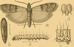 Anglų lietuvių žodynas. Žodis almond moth reiškia migdolų drugelis lietuviškai.