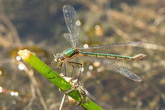 Female Emerald Damselfly (Justin Cameron) Tags: macro nature female canon wings eyes yorkshire flight insects 2014 zygoptera emeralddamselfly insecteyes lestessponsa skipwithcommon canon650d canonef100mmf28lmacroisusm skipwth