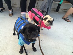 dog cute pug pugs boatcruise lifejacket kajamaboatcruise