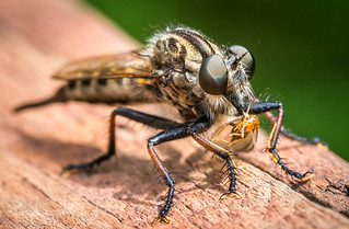 Robber Fly and Prey - Cary, NC - 4950.jpg